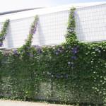 2013年8月_緑のカーテン_画像1