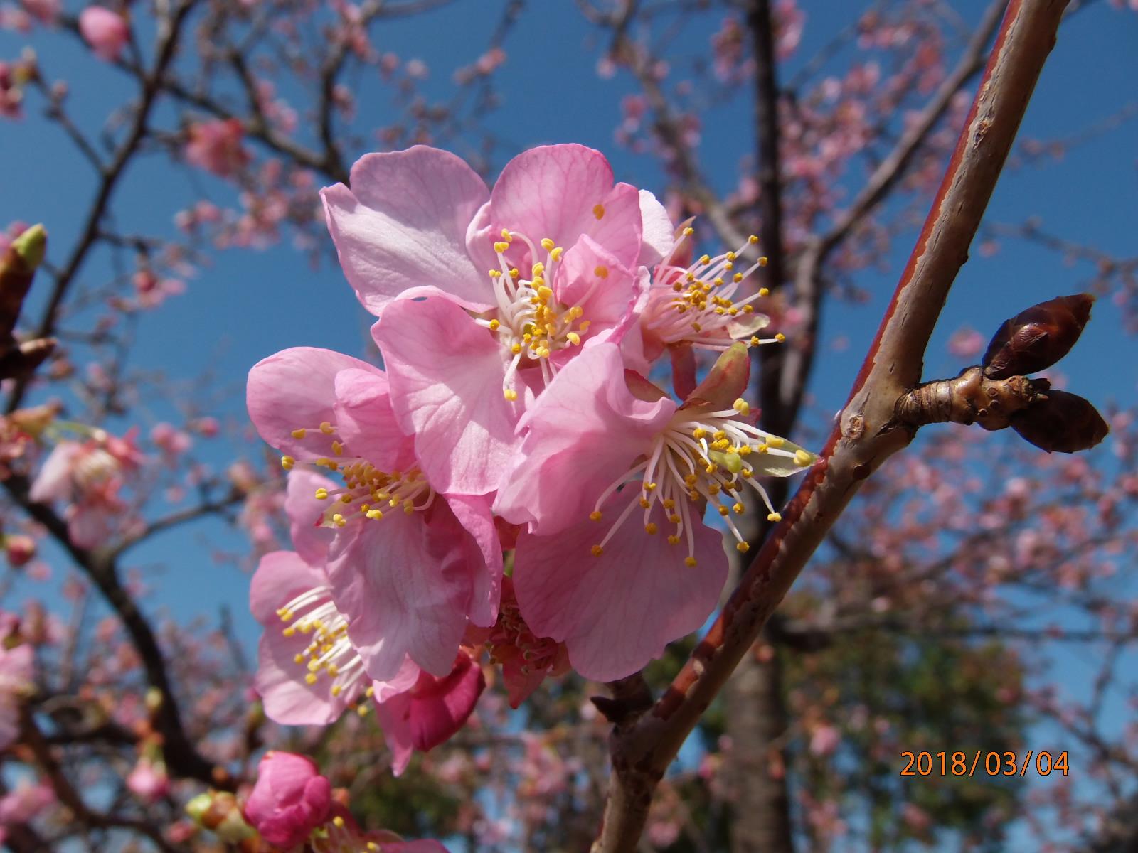 桜 情報 河津 開花